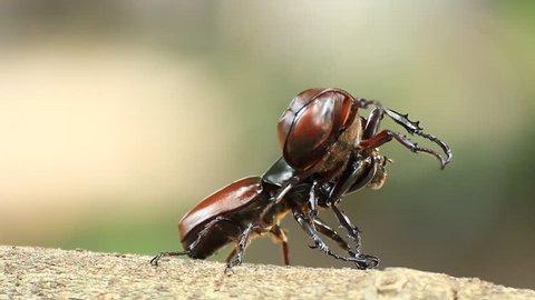 Rhinoceros beetle, Rhino beetle,Fighting beetle