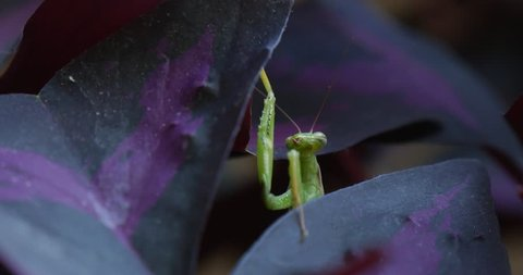 Mantis Religiosa Macro Mantis is Raising His Legs to the Violet Leaf is Moving His Antennas Blurred Background Mantis religiosa, praying mantis, European mantis, insect close up, green insect on the