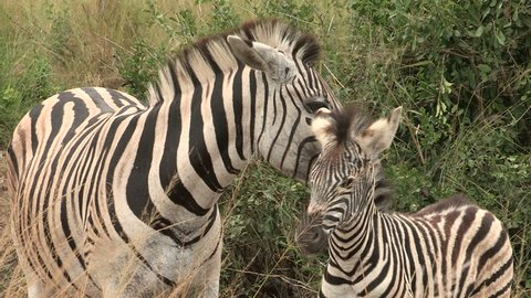 Zebra mother gives foal a clean