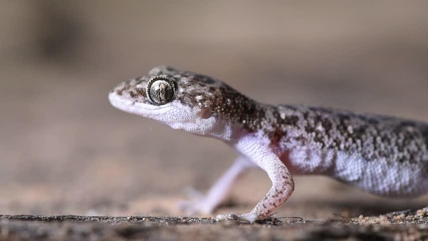 Header of Gecko