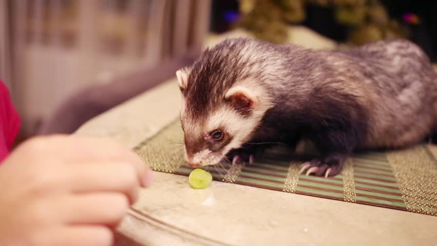 Close up portrait of funny ferret eating grape at table in home
