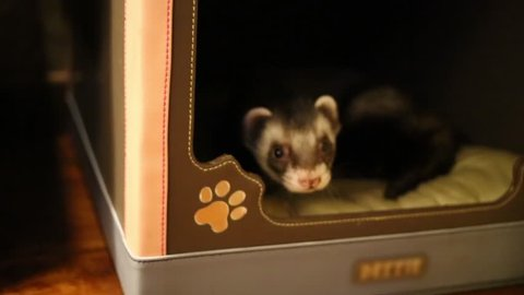 Funny pet ferret comes out of little house in home