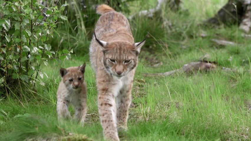 Eurasian Lynx with cub walking forward looking at camera