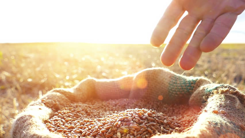 Strong man's hand takes a lot of wheat grains  from a sack, cultivated land , sky and sun in the background. Lens flare, sunset light.Slow motion, high speed camera, unrecognizable person | Shutterstock HD Video #11610353
