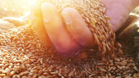 Wheat grains falling down in wheat sack from farmer's hand.Close up, slow motion, high speed camera.Unrecognizable person, lens flare, sunset light