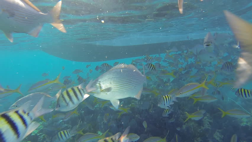 Snorkeling a living Coral Barrier Reef in the Florida Keys.   Shutterstock HD Video #11638736