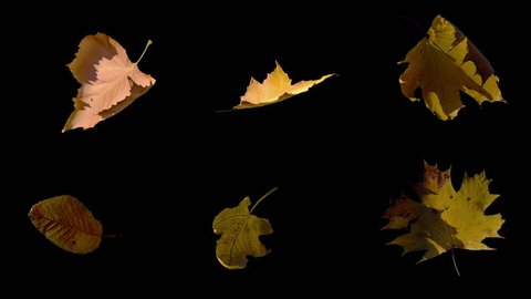 Falling Fall autumn yellow leaves flowing on wind and rotating in slow motion, stabilized, looped animation, isolated on alpha channel with black and white matte, perfect for digital composition