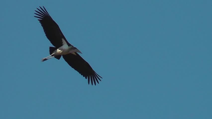 Marabou stork circling in the sky #11653226