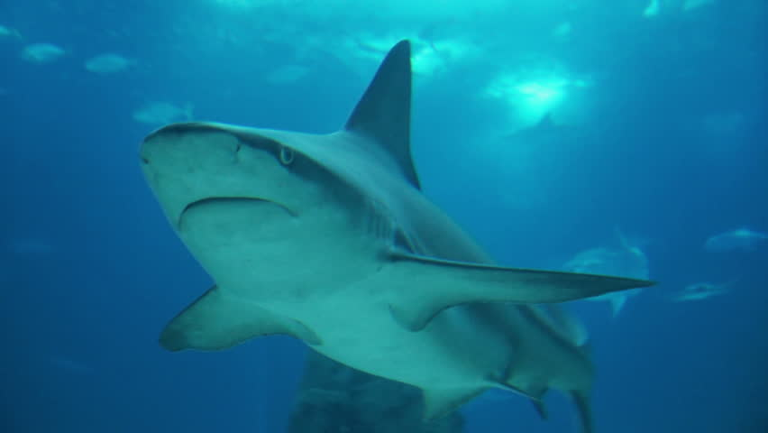 Black tip reef shark attacks