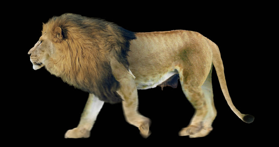 Isolated lion cyclical walking. Can be used as a silhouette.