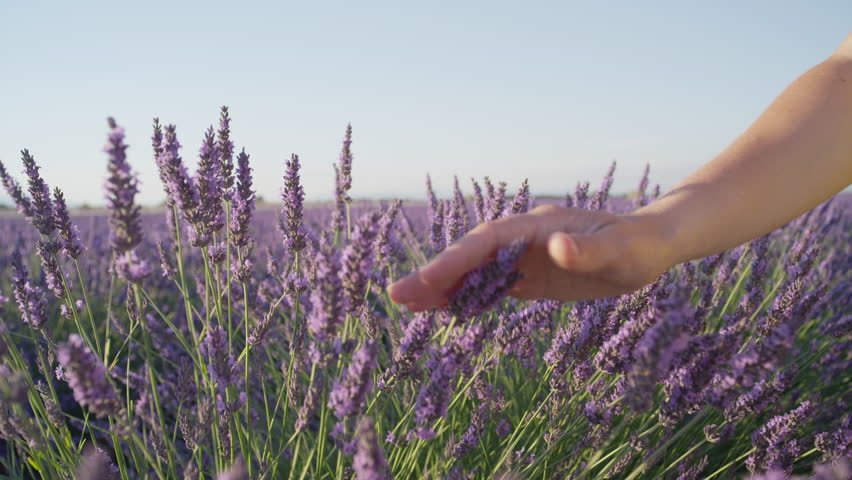 SLOW MOTION CLOSE UP: Hand touching purple flowers in beautiful lavender field at golden sunset | Shutterstock HD Video #11795096
