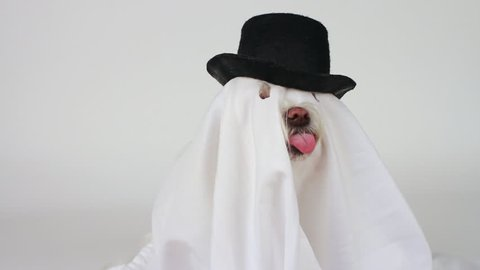 Dog ghost dressed in white sheet capped with black top hat, eyes, snout, teeth sticking out of holes, raises head, howls. 1080p