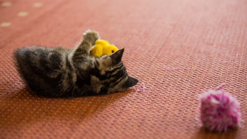 Two baby cats with own toys.One cat jump from yellow duck toy to tassel and another baby kitten come to check the duck.