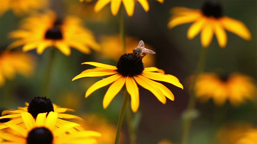 Rack Focus Bee. The Camera Racks Focus To A Bee In The Background ...