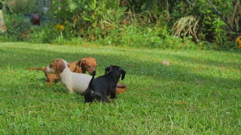 Piebald, black and brown dachshund puppies playing on a lush green lawn