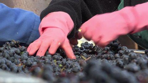 manual sorting of red grapes