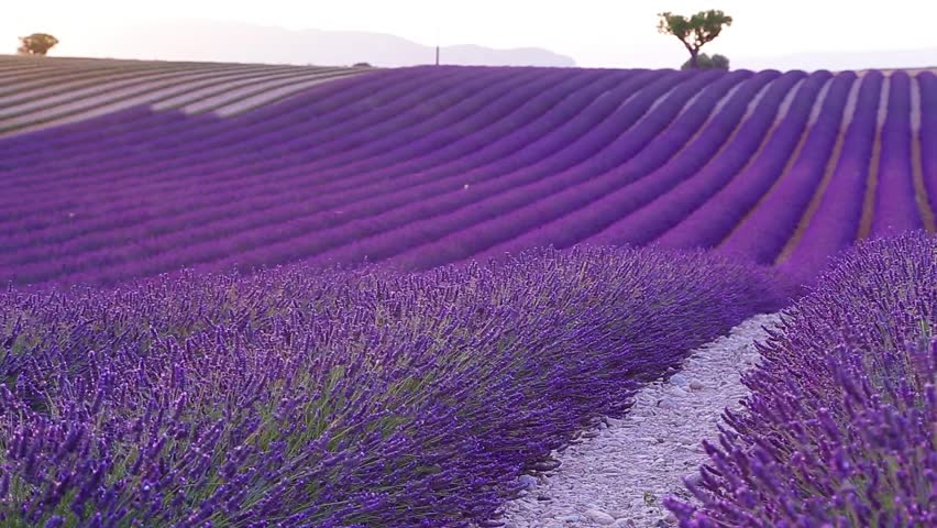 Lavender field in the summer in Valensole.Provence,France. | Shutterstock HD Video #11967842