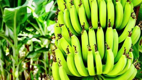 banana plantation on the island of Cyprus