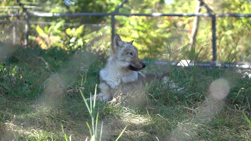 Gray Wolf in Super Slow Motion HD #12005363