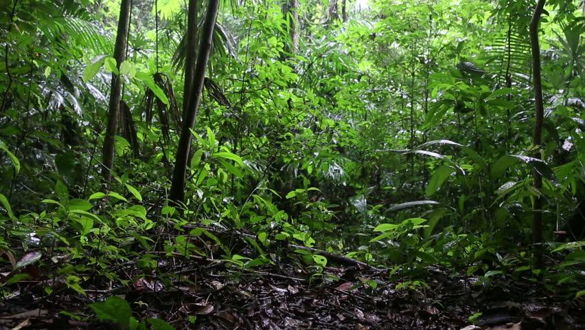 Raining Jungle Canopy And Floor Sliding Scene Stock Footage Video 12019706  | Shutterstock