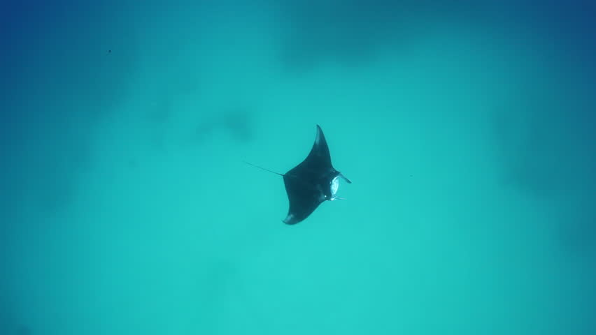 Image result for STOCK IMAGE manta ray