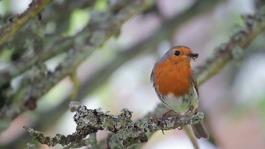 European Robin perched on a branch with food in his beak | Shutterstock HD Video #12281006
