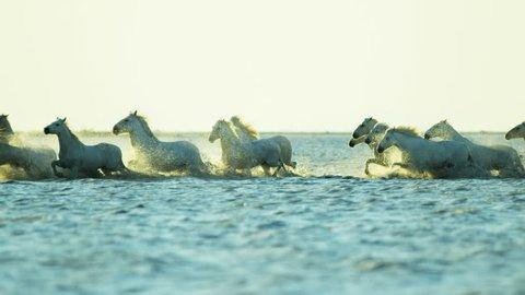 Sunset Camargue animal horses wild white livestock energy running freedom cowboy water Mediterranean nature tourism travel RED DRAGON