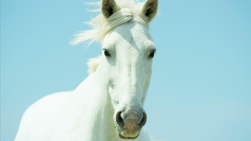 Camargue, France animal horse wildlife grey livestock environment water Mediterranean nature outdoors marshland freedom RED DRAGON | Shutterstock HD Video #12292886