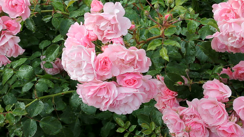 Pink roses in the Park,  flower garden with roses, tender roses growing in the garden, garden flowers with dew on the petals, landscaping, shrub rose, nature, rural, beautiful roses. #12323252