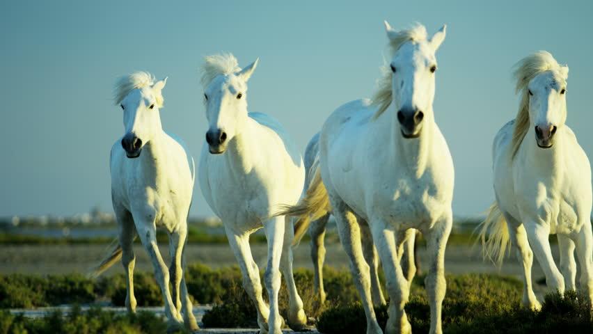 Camargue, France animal horses wild white livestock environment rider cowboy wetland freedom Mediterranean nature tourism travel RED DRAGON #12328256