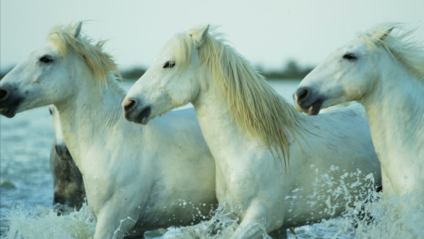 Camargue, France Mediterranean coastline Stallion Gelding outdoors animal horse wild white water running tourist travel RED DRAGON | Shutterstock HD Video #12329324