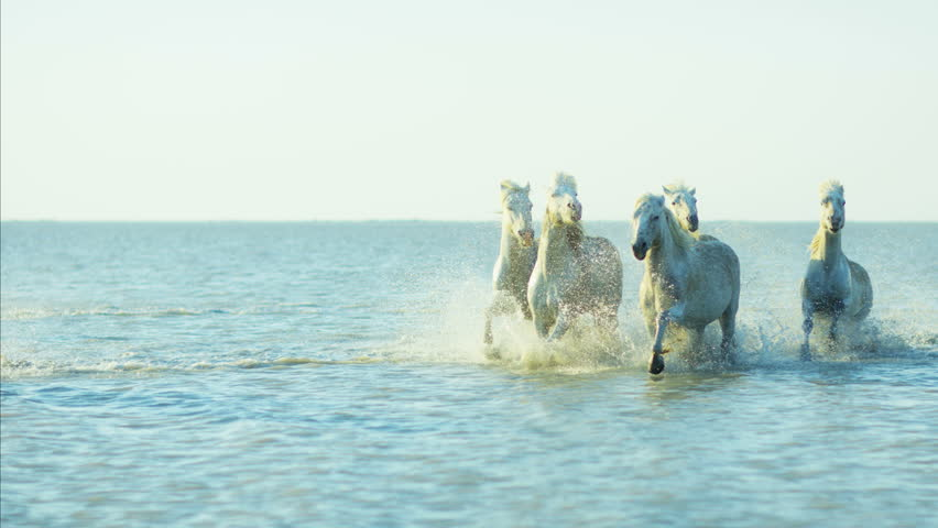 Camargue, France animal horses wild grey running galloping environment cowboy water Mediterranean nature tourism travel RED DRAGON | Shutterstock HD Video #12329588