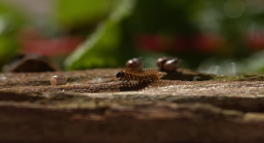 The caterpillar of a Saturnia pyri will grow up from a tiny egg to the largest moth or butterfly in Europe, Spring 2015, Austria,