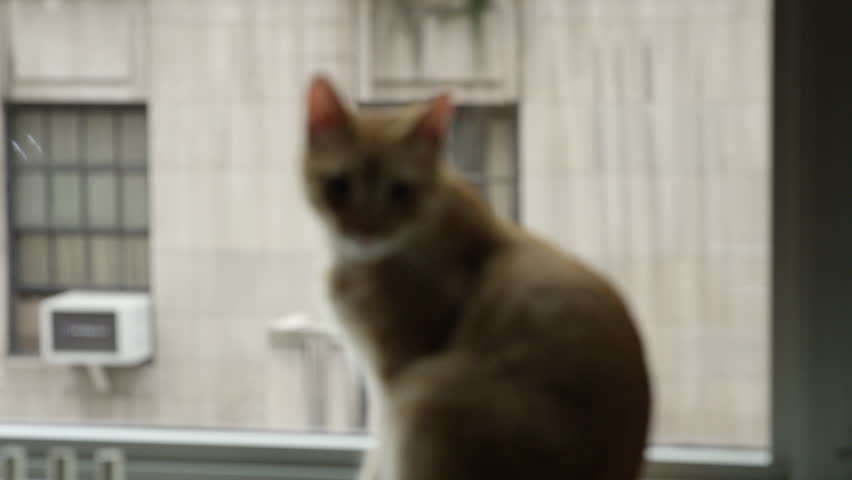 Cute tabby kitten perched on Manhattan windowsill with buildings across the street - cat looking out window in 4K #12663986