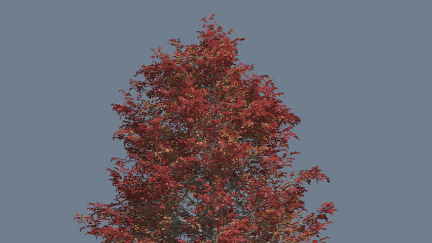 Black Gum Crown Tree Cut from Chroma Key, Tree on Alfa Channel, Crown of Swaying Tree with Red Branches and Green Leaves in Fall, Autumn, Tree is Swaying at the Wind, Computer Generated Animation | Shutterstock HD Video #12691976