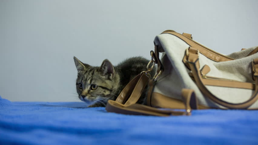 Kitten lay next to purse and jump away. Baby cat British breed hiding behind a woman purse and jumping something of camera. Blue blanket underneath. White background.