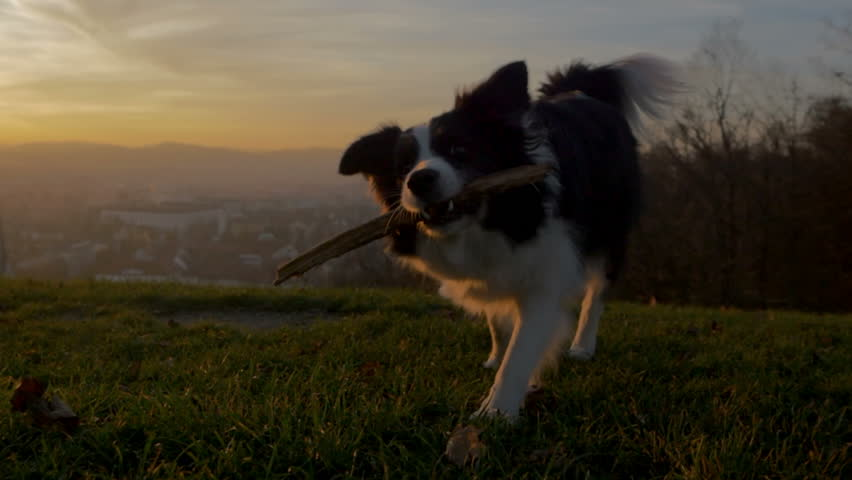 A border collie wallking with its stick