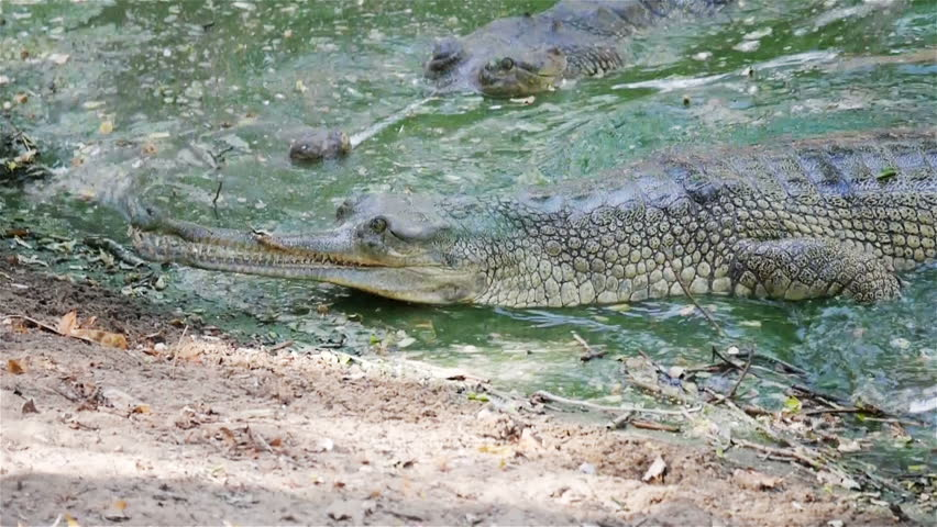 Indian Gharial crocodile swimming onto a river bank. Video footage of an Indian Gharial crocodile, recognizable by its long and thin snout, as it swims in a river and mounts the river bank.