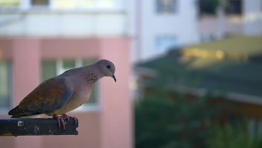 Mourning doves are well known for their peaceful and gentle nature. Their mournful call can be heard throughout the day during the summer months