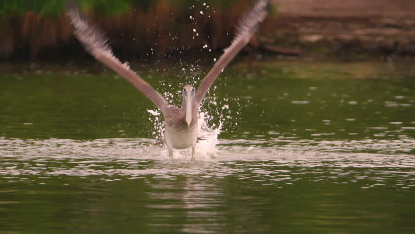 Rare shot of brown pelican running across water surface and flapping his wings to take flight in 240 fps slow motion -- directly towards the camera