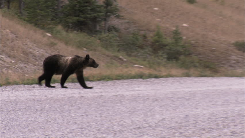 Grizzly Bear crosses gravel road