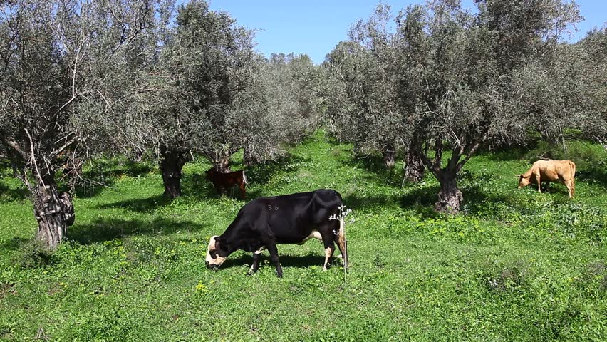 Cows in front of olive trees. Some of them regurgitate. some playful. Some graze green grass.