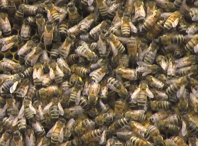 Macro of honeybees at work on a honeycomb