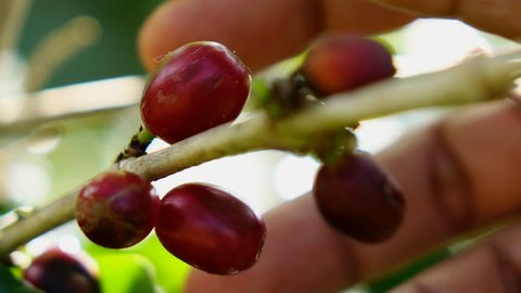 Picking coffee beans,Slow motion