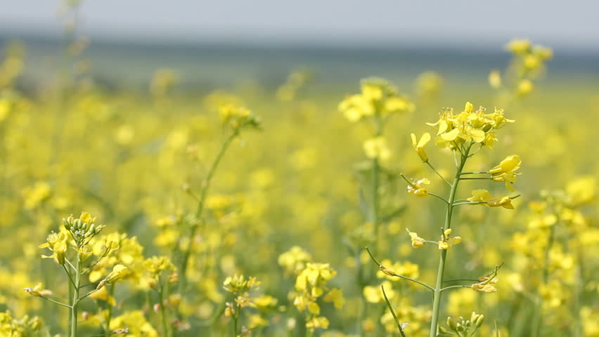 Yellow field panning - summer rape flowers in the breeze. Follow focus from front flowers to far  scene (Brassica napus)