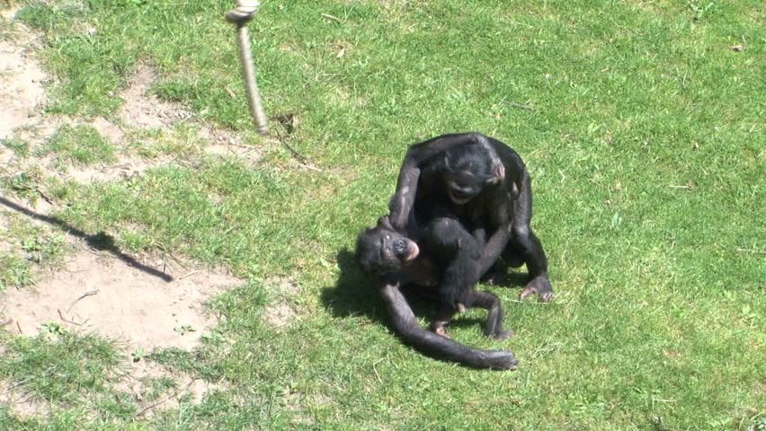 Bonobo monkeys mating sex on grass in the zoo