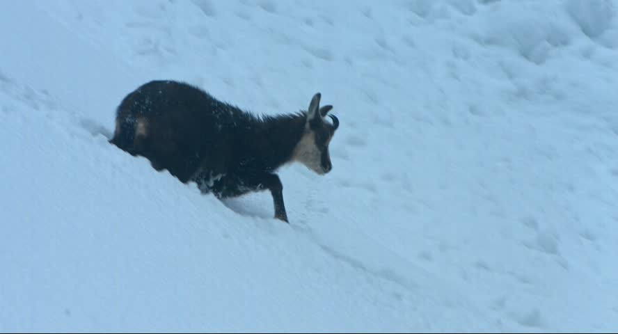 chamois walks in the snow of an avalanche and is looking for food in snowstorm in the Krimml Achental valley, winter 2015, Austria, Blackmagic Cinema Kamera 4K, Raw, , shot in 30fps