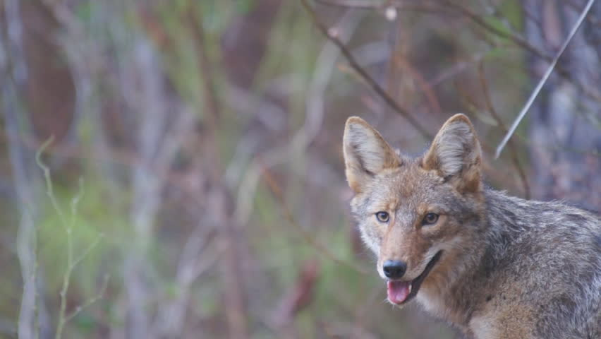 Coyote (Canis latrans) is a wild canine of North America adapted to both Wild