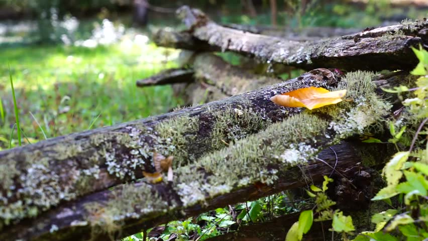 Orange autumn leaf blown off of mossy log in the forest