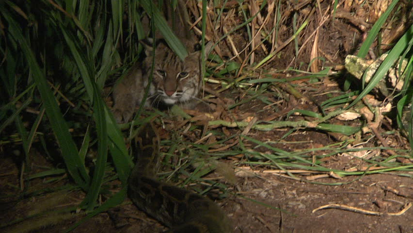 Bobcat attacks Python